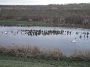 DSC06274 swan