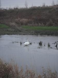 DSC06278 swan