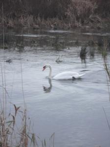 DSC06280 swan